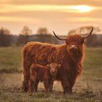Pregnant Highland cow dies after dog attack near Bridport, Dorset